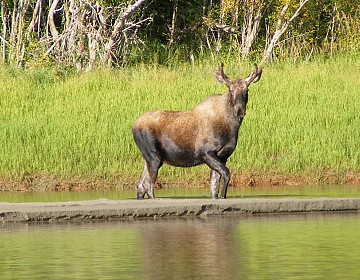 Moose on Nisutlin River