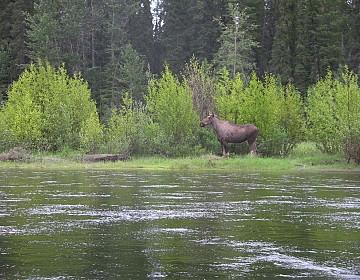 Moose on Teslin