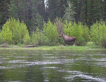 Moose on Teslin