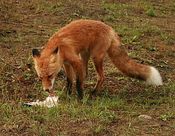 Fox on Pelly River